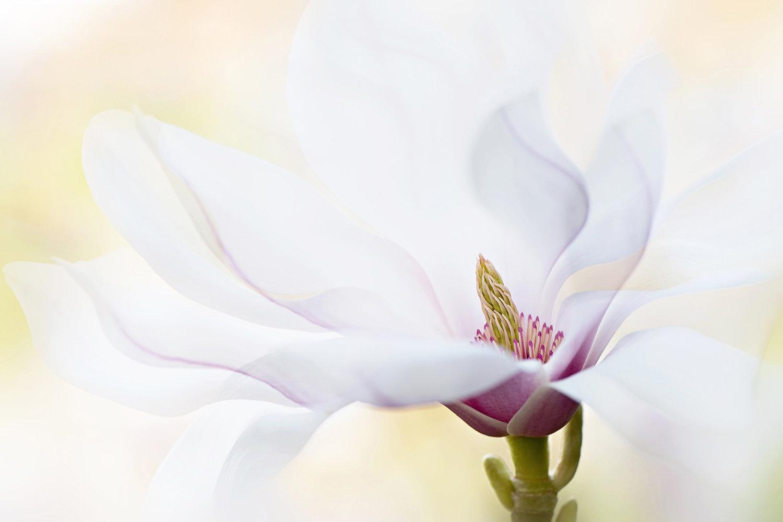 MagnoliaFlowerpreview.jpg