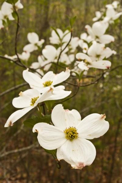 ed0df80f7abafe115bf20a78f8e8ba54--dogwood-trees-flowering-treesc8653c82780d1d08.jpg